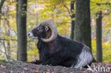 Wild schaap (Ovis ammon)
