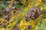 Gele zeepboom (Koelreuteria paniculata)