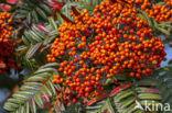 Lijsterbes (Sorbus scalaris)