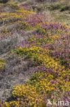 Gaspeldoorn (Ulex gallii)