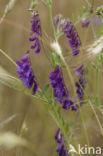 Bonte wikke s.l. (Vicia villosa)