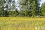 Scherpe boterbloem (Ranunculus acris)