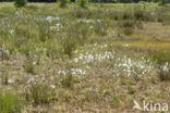 Veenpluis (Eriophorum angustifolium)