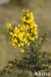 Gaspeldoorn (Ulex europaeus)
