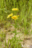 Engelse alant (Inula britannica)
