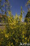 Citroengele honingklaver (Melilotus officinalis)