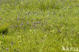 Spaanse ruiter (Cirsium dissectum)