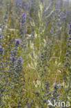 Witte honingklaver (Melilotus albus)