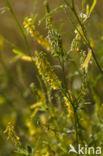Goudgele honingklaver (Melilotus altissimus)