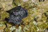 Eikentrilzwam (Exidia truncata)
