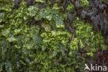 Platte vliesvaren (Hymenophyllum tunbrigense)