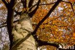 Beuk (Fagus sylvatica)
