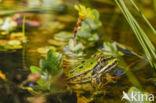 Grote groene kikker