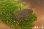 Waterschorpioen (Nepa cinerea)