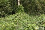 Moerasandoorn (Stachys palustris)