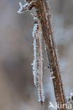Bruine winterjuffer (Sympecma fusca)