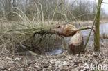 Europese bever (Castor fiber)