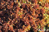hoogveen veenmos (sphagnum magellanicum)