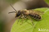 Meidoornzandbij (Andrena carantonica)
