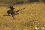 Zwarte Wouw (Milvus migrans)
