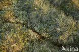 Siberische lemming (Lemmus sibiricus)