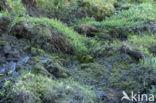Dwergwilg (Salix spec)