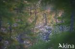 Moerasrozemarijn (Ledum palustre)