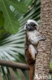 Pinche aapje (Saguinus oedipus)