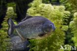 Rode piranha (Pygocentrus nattereri)