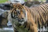Sumatraanse tijger (Panthera tigris sumatrae)