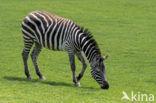 Bohm zebra (Equus quagga boehmi)