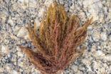 Bornetia secundiflora