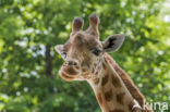 Kordofangiraffe (Giraffa camelopardalis antiquorum)