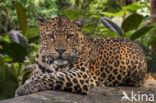 Javaanse panter (Panthera pardus melas)