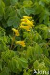 Helmbloem (Corydalis lutea)