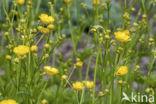Wollige boterbloem (Ranunculus lanuginosus)