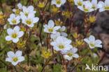 Mossteenbreek (Saxifraga hypnoides)
