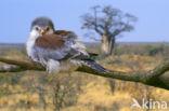 Afrikaanse dwergvalk (Polihierax semitorquatus)