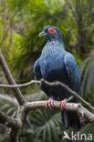 Madagaskar Blauwe Duif (Alectroenas madagascariensis)
