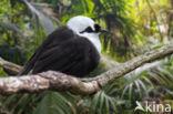 Garrulax bicolor