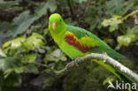 Timorroodvleugelparkiet (Aprosmictus jonquillaceus)
