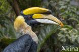 Dubbelhoornige Neushoornvogel (Buceros bicornis)