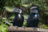 Blauwkeelneushoornvogel (Ceratogymna atrata)