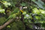 Vuurpluimbaardvogel (Psilopogon pyrolophus)