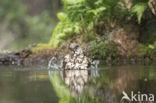 Grote Lijster (Turdus viscivorus)
