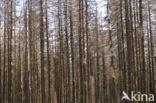 Fijnspar (Picea abies)