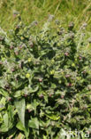 Veldhondstong (Cynoglossum officinale)