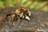 Megachile lagopoda