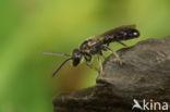 Kleine groefbij (Lasioglossum parvulum)