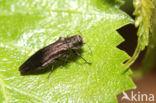 Groen Smalbuikje (Agrilus viridis)